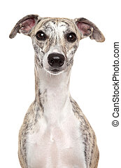 Whippet dog. Portrait on a white background