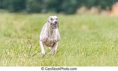 Whippet running in the field on lure coursing competition