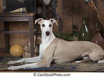 whippet, vieux, huit, portrait, mois, chien