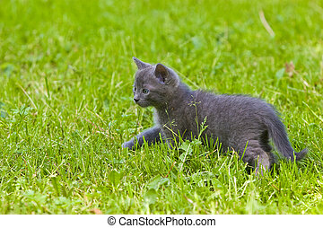 animal series: gray kitten on the green grass