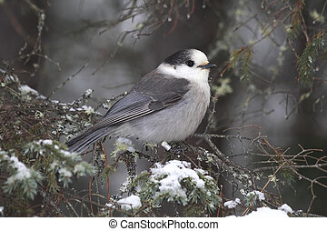 Whiskey Jack - Closeup of a Gray Jay in the winter in...
