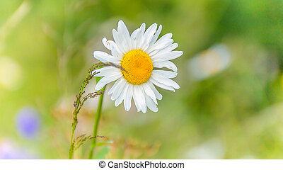 Whit daisy