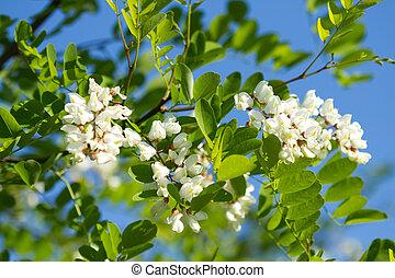 White acacia on a background blue sky