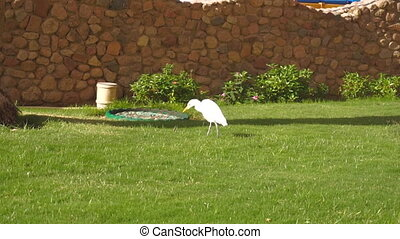 White albatross stands on the grass and eating jujube