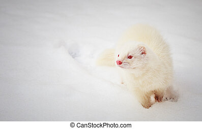 White albino ferret playing in the snow