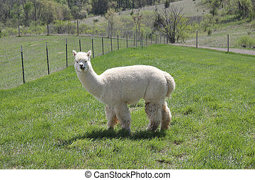 White alpaca full body