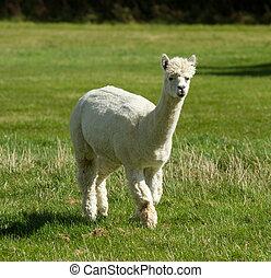 White Alpaca in a green field - An Alpaca in a green field....