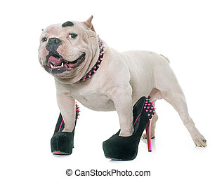white american bully and court shoes in front of white...