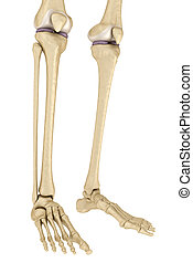 white., anatomy., 隔離された, 3d, medically, 膝, イラスト, 正確