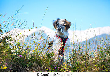 white and black fuzzy dog in grass and high mountains at...