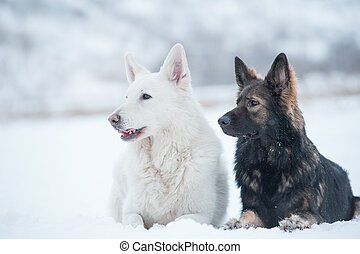 White and black sheepdogs in winter
