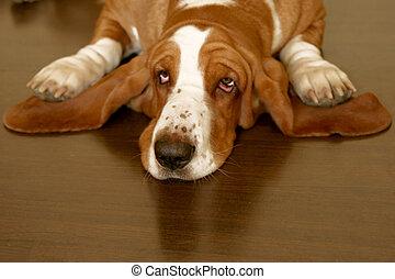 basset hound - white and brown basset hound on the floor