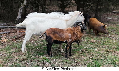 White and brown bill goat and pig, farm animals in trees