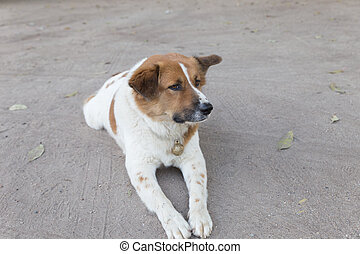 Wonderful White Chubby Adorable Dog - white-and-brown-cute-dog-laying-down-resting-on-ground-picture_csp43606218  Collection_208146  .jpg