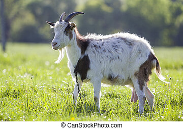 White and brown domestic goat with long steep horns, yellow...