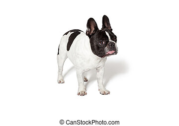 White and brown french bulldog puppy