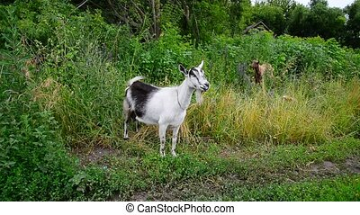 White and brown goat in rural outback in Russia - white and...