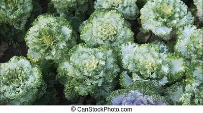 White and Green Ornamental Kale in a Garden - Several ...