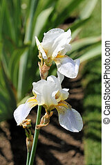 White and lilac irises 2