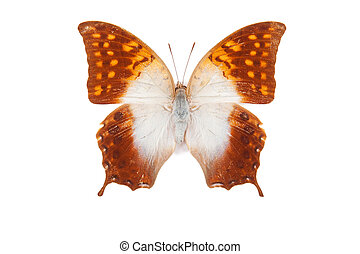 White and orange butterfly Charaxes acuminatus isolated