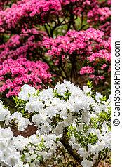 White and Pink Azaleas in Spring Garden