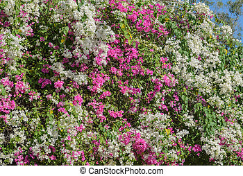 White and pink bougainvillea tree wall