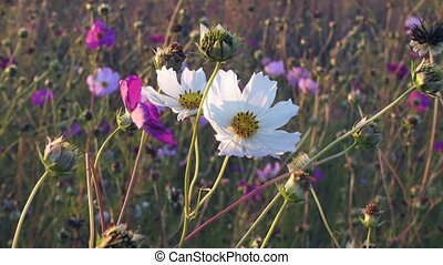White and pink cosmos flowers sway on the wind, closeup