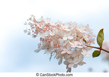White and pink lilac flowers closeup on sky background