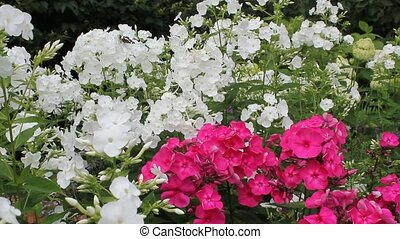 White and pink Phlox blossom in daylight - White and pink...