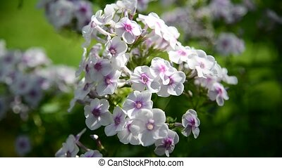 White and pink phlox outside - White and pink phlox is...
