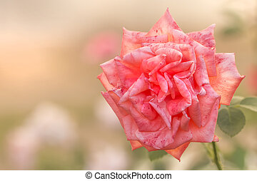 white and pink rose original bright summer background