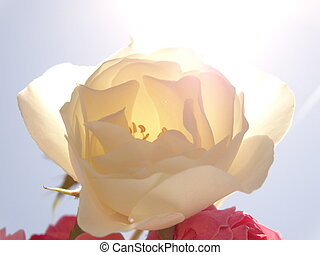 White and Pink Roses against the Background of the Blue sky and under Bright Sun Light