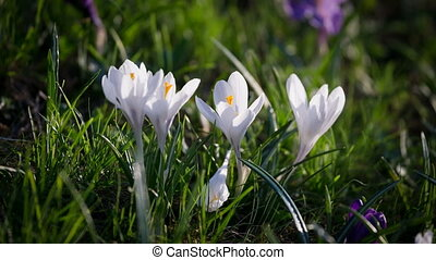 White and purple crocuses on green grass tremble on the...