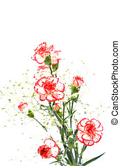 White and Red carnation. - Beautiful White and Red...