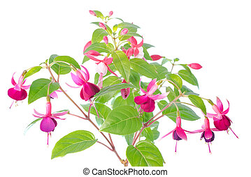 white  and red fuchsia flower isolated