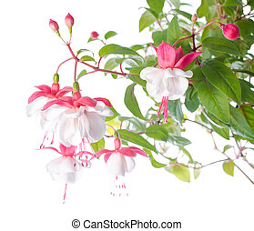 white and red fuchsia flower isolated on white background -...