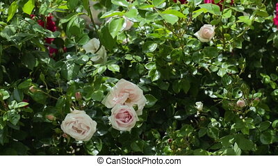White and red roses on the bushes. slow motion