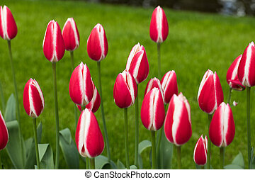 white and red tulips flowers blooming in a garden
