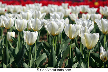 White and red tulips in the garden