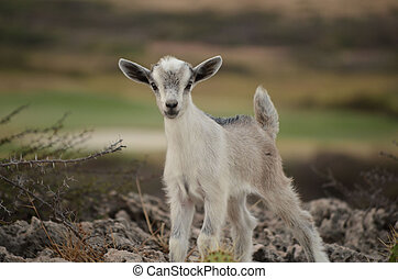 White and SIlver Baby Kid Goat in Aruba