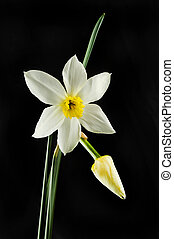 White and yellow Daffodil flower and bud against black