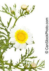 garland chrysanthemum isolated
