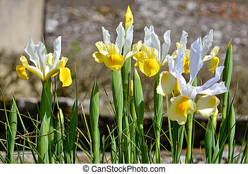 White and yellow iris