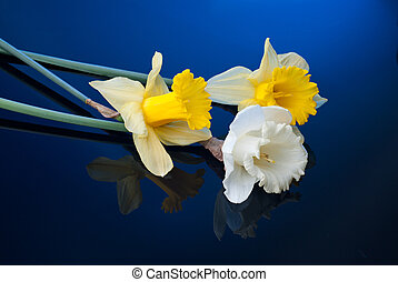 white and yellow narcissus on blue background