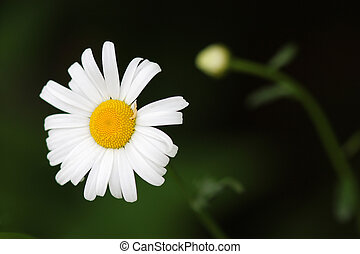White and yellow ox eye daisy flower on a green background