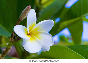 White and yellow plumeria flowers on a tree