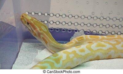 White and yellow snake. 4K. - White and yellow snake. Shot...