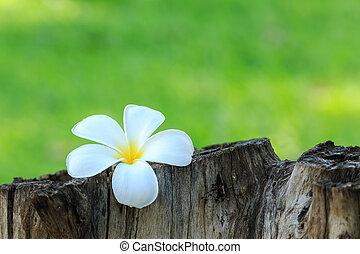 White and yellow tropical flowers, Frangipani, Plumeria