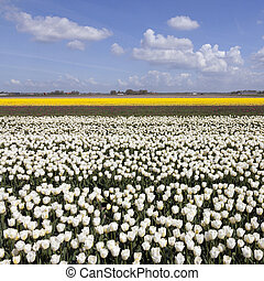 white and yellow tulips in flower field with blue sky and clouds
