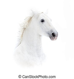 white andalusian horse portrait in high key